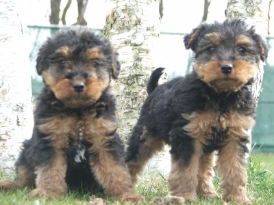 Welsh Terrier Puppies on Dieren En Toebehoren    Honden    Welsh Terrier Puppies