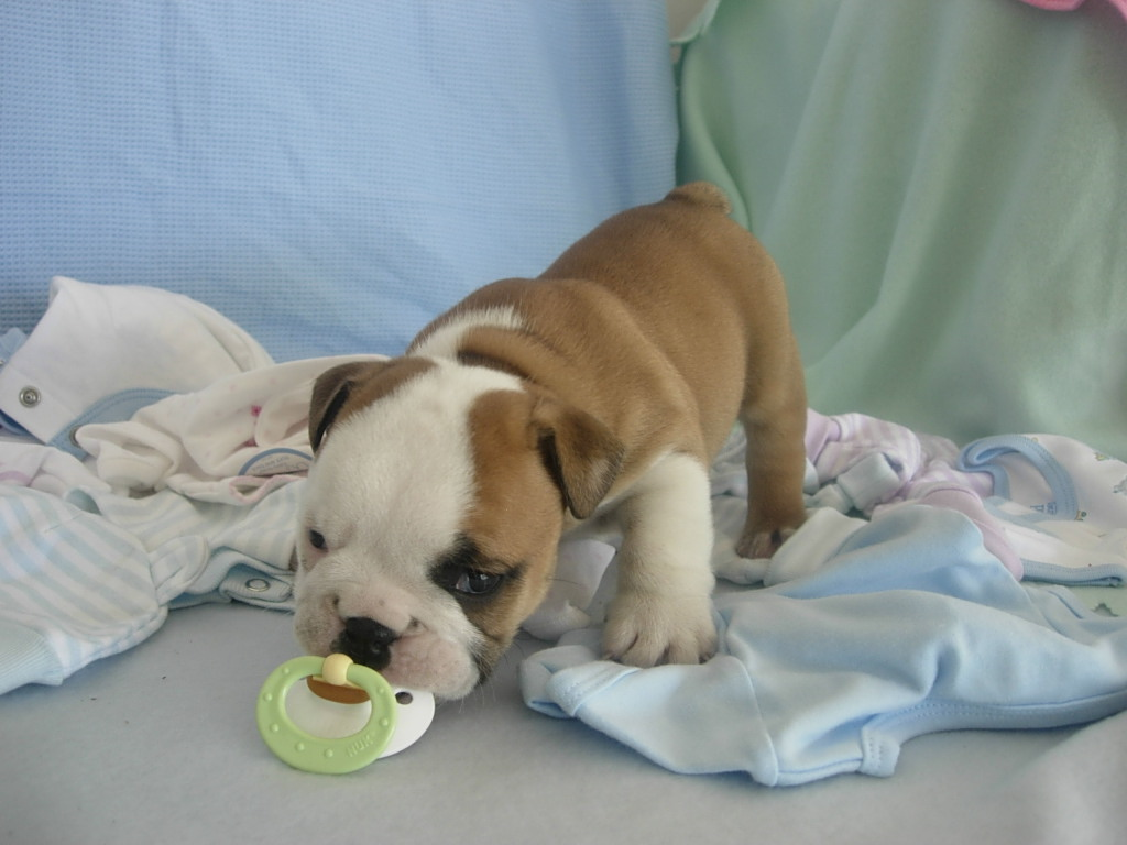 Baby English Bulldogs Cute English Bulldog Puppies White Baby French Bulldog